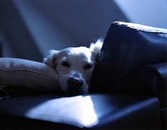 (Benjamin Skanke) Tags: camera dog pet love 120 film animal analog vintage golden eyes friend pentax takumar you kodak retriever charlie sofa medium format 24 28 6x7 miss expired portra canoscan 67 120mm 105mm 400nc