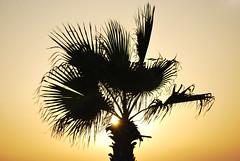 Palm Tree Silhouette (spollock61) Tags: israel telaviv sandstone mediterranean glow muslim middleeast bluesky palmtree jew yafo