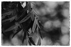 Silky Oak with Bokeh (emilyfreemanphotography) Tags: leaves 50mm oak bokeh 365 50 silky project365