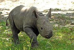 zwate neushoorn Akili geboren 6-8-2012 berlin zoo IMG_1887 (j.a.kok) Tags: rhino blackrhino neushoorn zwarteneushoorn puntlipneushoorn