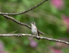 In the Distance~ (Connie Etter Photography) Tags: bird garden backyard hummingbird bokeh sony perch limb aony rubyredthroat 70400g a77v