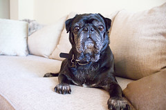 Leo & Bella (Erin Opie) Tags: lighting black cute dogs puppies natural pug indoors pugs petphotography