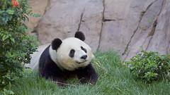 Xiao Liwu relaxing in the grass (Rita Petita) Tags: xiaoliwu x sandiegozoo sandiego california china panda giantpanda explore