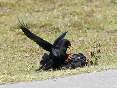 Fighting Choughs (pili-pala51) Tags: review pembrokeshire chough stgovans