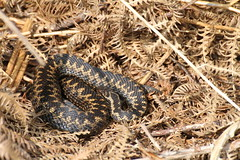Adder - Banstead - Surrey (ChristianMoss) Tags: adder vipera berus surrey banstead snake canon wildlife reptile