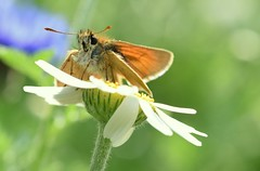 Small Skipper? (cdwpix) Tags: skipper hedon east yorkshire watsons park