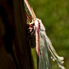 Luna Moth (Shot by Kevin Lester) Tags: luna moth green agua bug pentax tokina k5iis