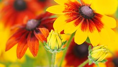 Sunshine reggae (G_E_R_D) Tags: flower sunshine yellow gelb blume rudbeckia sonnenhut