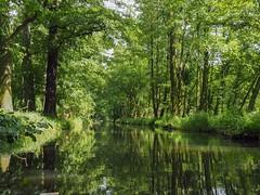 Spreewald (Ina Hain) Tags: trees tree green nature water landscape wasser forrest natur olympus kanal grn spree landschaft wald bume spiegelung baum burg spreewald schilf wurzel wurzeln spreewaldhof hochwald leipe