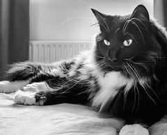 On the bed (Percy the big cat with big whiskers) (BW) (Olympus OMD EM5II & mZuiko 17mm f1.8 Prime) (markdbaynham) Tags: percy cat feline pet cute olympus omd oly em5 em5ii csc mirrorless evil mft microfourthirds m43 m43rd micro43 zd mz zuiko mzuiko zuikolic 17mm f18 prime