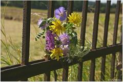 Wiesenblumenstrau (mayflower31) Tags: blumen flowers zaun fence wiesenblumen sommer