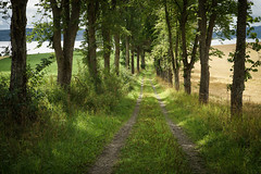 Tree avenue (Helena Normark) Tags: treeavenue tractorroad rostad indery inderya nordtrndelag norway norge sonyalpha7 a7 voigtlnder cv5015 nokton5015 nokton50mmf15