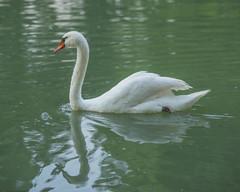 Mute Swan of New Harmony (wplynn) Tags: new harmony indiana harmonist utopian society swan mute cygnus olor