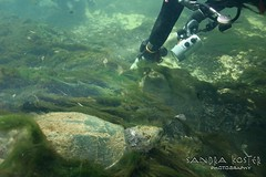 IMG_5965 (2) (SantaFeSandy) Tags: giant snapper turtle cave diving sinks lafayette blue springs state park sandrakosterphotography sandrakosterphotographycom sandykoster sandy sandra santafesandysandrakosterphotographycom sandrakoster algae green sink stevens 1 snake