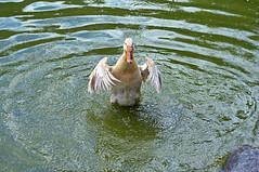 9990  Wow, ich fhle mich so glcklich. Wow, I'm feel so happy. (Fotomouse) Tags: fotomouse flickr vogel bird ente duck teich wasser water tier tiere animals animal natur nature outdoor draussen happy glcklich baden tobathe takeabath