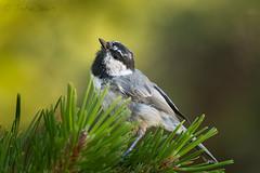 Mountain Chickadee 20160724_1721 (GORGEous nature) Tags: fsrd17 hoodriverco mountainchickadee oregon paridae passerine poecilegambeli summer vertebrates bird foraging mhnf young july johndavis