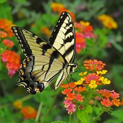 loving the lantana (mimbrava) Tags: easterntigerswallowtail papilioglaucus female lantana butterfly arr allrightsreserved mimeisenberg mimbrava mimbravastudio