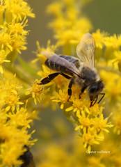 30-IMG_4570 (hemingwayfoto) Tags: august biene blhen blte blume gelb goldrute goldrutekanadische insekt lebewesen solidagocanadiensis tier