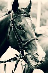 race horse face II (feldweg) Tags: horse racehorse race rennen pferd pferderennen doberan baddoberan ostseemeeting 2016 cavallo caballo kon hest cheval galope galopp galopprennen rosenknig