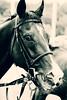 race horse face II (feldweg) Tags: horse racehorse race rennen pferd pferderennen doberan baddoberan ostseemeeting 2016 cavallo caballo kon hest cheval galope galopp galopprennen rosenkönig