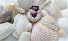 Seashells (fritman99) Tags: beach shore delaware sea sand seashells bethanybeach