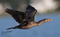 Cormorant in flight 8_27 1 (krisinct- Thanks for 12 Million views!) Tags: nikon d500 500 f4 vrg