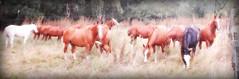 Los alazanes (Eduardo Amorim) Tags: cavalos caballos horses chevaux cavalli pferde caballo horse cheval cavallo pferd cavalo cavall tropilla tropilha herd tropillas tropilhas     crioulo criollo crioulos criollos cavalocrioulo cavaloscrioulos caballocriollo caballoscriollos ayacucho provinciadebuenosaires buenosairesprovince argentina sudamrica sdamerika suramrica amricadosul southamerica amriquedusud americameridionale amricadelsur americadelsud eduardoamorim gaucho gauchos gacho gachos