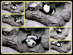 This is the life.... (heights.18145) Tags: smithsoniansnationalzoo beibei meixiang ccncby panda bear pandabear endangeredspecies cuteanimals babyanimals collage swim pool