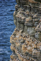a lofty Orcadian Gannets abode (lunaryuna) Tags: scotland northernisles orkneyisles orkney westray nouphead sea northatlantic cliff verticalascent birds seabirds birdcolony gannets nestingsite summer season seasonalwonders wildlife lunaryuna