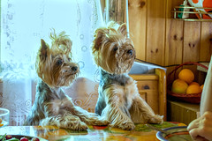 We wanna eat (Alex Poison) Tags: animals dogs cute pet eat indoor want funny love terrier yorkshire