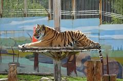 тигр! (Irina Zverkina) Tags: зоопарк ярославль тигр