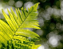 Fern and bokeh (Jo Evans1 - still trying to catch up!) Tags: fern plant bokeh wednesday hbw