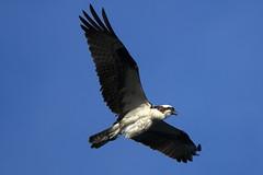 Osprey in flight close up (RickykcWong) Tags: ospery inflight ontario