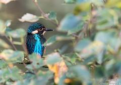 Junger Eisvogel,kurz nach verlassen der Bruthhle,dritte diesjhrige Brut-ausgeflogen am 19.09.16 um 09.28Uhr (Cristoforo Colombo) Tags: kingfisher eisvogel bremen blockland wmme