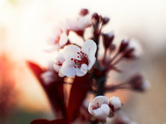 Memory of early spring (Petr Horak) Tags: blooming blossom plant tree apple closeup photography macro