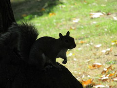 267:365, 2016, Little squirrel IMG_7513 (tomylees) Tags: greysquirrel braintree essex project 365 september 2016 23rd friday