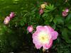 Peony flowers in Balchik botanical garden, Bulgaria (cod_gabriel) Tags: bulgaria balchik balcic dobrogea dobruja dobrudja cadrilater botanicalgarden grădinăbotanică gradinabotanica peony bujor peonyflowers bujori