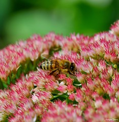 Bee on the flowers (JaapCom) Tags: jaapcom macro bee flower flowering flowers fleurs animal natural garden