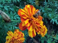 WP_20160820_17_56_50_Pro (vale 83) Tags: bee microsoft lumia 550 wpphoto wearejuxt friends