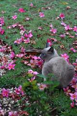 Gray velvet (Rodrigo Neves) Tags: flowers grass cat canon eos 350d kat chat gray kitty velvet gatto