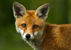 Fox-cub_2016 (Peter Warne-Epping Forest) Tags: uk nature canon mammal cub wildlife fox hertfordshire redfox vulpes crunchnature highqualityanimals