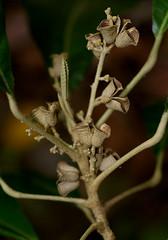Lunasia amara, Palmetum, Townsville, QLD, 15/07/12 (Russell Cumming) Tags: plant queensland townsville rutaceae palmetum arfp arffs lunasiaamara lunasia tbgarfp tparfp brownarffs galleryarf lowlandarf cyrfp understoreyarfp
