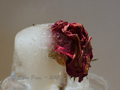 ~ Floral Cryonics ~ (iTail ~ 4.5 Million Views ~ Thanks to all.) Tags: canon eos rosebud stevepage itail cryonics ef50mmf12lusm stephenpage canon5dmarkiii floralcryonics floweronice flrozenrose
