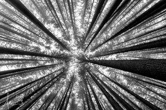 Looking Up at Sugar Pine (sachman75) Tags: trees winter blackandwhite bw australia nsw vegetation convergence laurelhill converging canon1740mmf4 batlow canon5dmarkii sugarpinewalk bagoforest