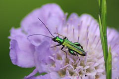 Male Thick-Legged Flower Beetle (Oedemera nobilis) (Pipsissiwa) Tags: uk flower macro male garden insect wildlife beetle thick legged invertebrate arthropod coleoptera nobilis oedemera