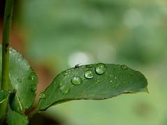 El milagro de la vida (.Bambo.) Tags: verde green water leaves rain hojas drops lluvia agua vida campo tres monte montaña fortuna milagro rosal celebración gotras