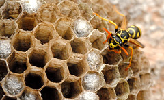 P dominulus On Nest (WildFocus Photography) Tags: life wild summer brown black macro nature animal yellow closeup america bug paper insect close wasp natural nest little michigan wildlife small cell exotic cap cells hive invasive paperwasp polistes dominulus
