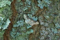 Least Carpet (Dr Wood's Wildlife Photos) Tags: moth geometridae 1699 derekwood idaearusticata derekwoodphotography leastcarpet schaduwstipspanner phalènerustique braungebänderterheckenspanner