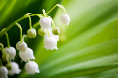 Lily of the valley (DivineSoulTeacher) Tags: life park wild summer white plant flower detail macro green nature floral beautiful beauty field grass closeup garden season botanical leaf spring flora day lily natural bell blossom outdoor background seasonal meadow fresh petal valley lilly fragrant bunch bloom botanic growing concept botany fragrance aroma blooming elegance purity lilyofthevalley