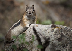 Golden Mantled Ground Squirrel (Pragmatic1111) Tags: mountains nature animal fur rodent nikon squirrel colorado wildlife goldenmantledgroundsquirrel rockmountainnationalpark d700 highqualityanimals